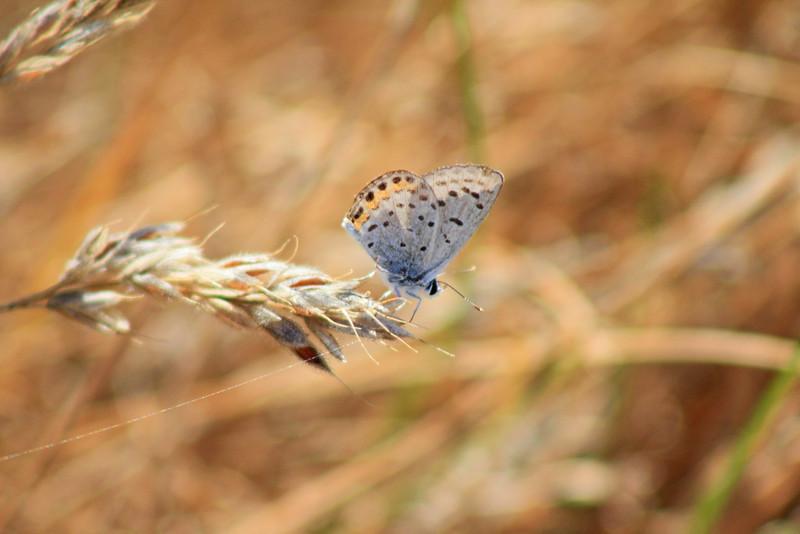 7/24/11 Acmon Blue (Plebejus acmon). Vista Grande Trail, Santa Rosa Plateau Ecological Reserve, SW Riverside County, CA