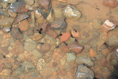 4/2/10 Tadpoles in a large puddle on Waterline Road. Santa Rosa Plateau Ecological Reserve, Riverside County, CA