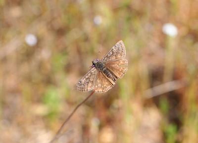 4/2/10 Propertius Duskywing (Erynnis propertius)? on Blue Dicks (Dichelostemma capitatum ssp. capitutum). Vista Grande Trail, Santa Rosa Plateau Ecological Reserve, Riverside County, CA