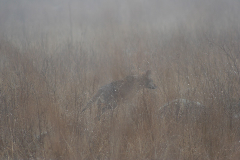 2/19/070 Coyote (Canis latrans) in the mist, Roadside off Via Volcano, Santa Rosa Plateau Ecological Reserve, Riverside County,