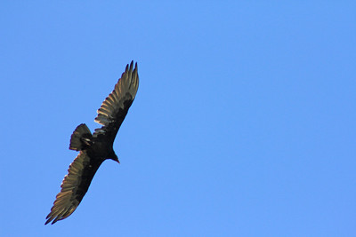 7/24/11 Turkey Vulture (Cathartes aura). Vista Grande Trail, Santa Rosa Plateau Ecological Reserve, SW Riverside County, CA