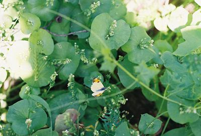 4/17/05 Sara Orange Tip (Anthocharis sara) on Southern Miner's Lettuce (Claytonia perfoliata ssp. mexicana). Trans Preserve Trail. California Native Plant Society trip (Riverside-San Bernardino Chapter). Santa Rosa Plateau Ecological Reserver, Riverside County, CA