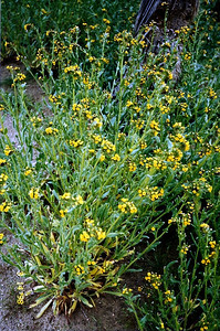 3/14/98 Devil's Lettuce (Amsinckia tessellata). Saddleback Butte Trail, Saddleback Butte State Park, W. Mojave, Antelope Valley, N. Los Angeles County, CA