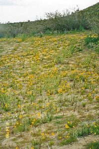 3/14/1998 Bigelow's Coreopsis (Coreopsis bigelovii). Saddleback Butte Trail, Saddleback Butte State Park, Antelope Valley (W. Mojave), Los Angeles County, CA