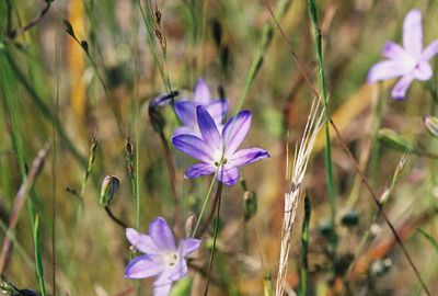 4/17/05 Thread-Leaved Brodiaea (Brodiaea filifolia). Vernal Pool Trail continuing to right of boardwalk. California Native Plant Society trip (Riverside-San Bernardino Chapter). Santa Rosa Plateau Ecological Reserve, Riverside County, CA