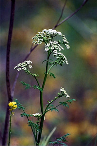 5/18/02 Poison Hemlock (Conium maculatum). Santiago Oaks Regional Park, Orange, Orange County, CA