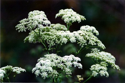 PLANTS: APIACEAE (Carrot Family)