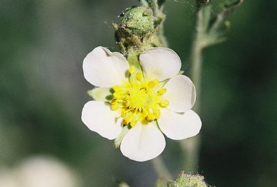 7/1/05 Sticky Cinquefoil (Potentilla glandulosa). South Fork Bishop Creek (before South Lake). Inyo National Forest, Eastern Sierras, Inyo County, CA