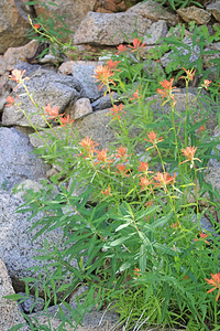 8/14/11 Great Red Paintbrush (Castilleja miniata). South Lake, Inyo National Forest, Inyo County, CA