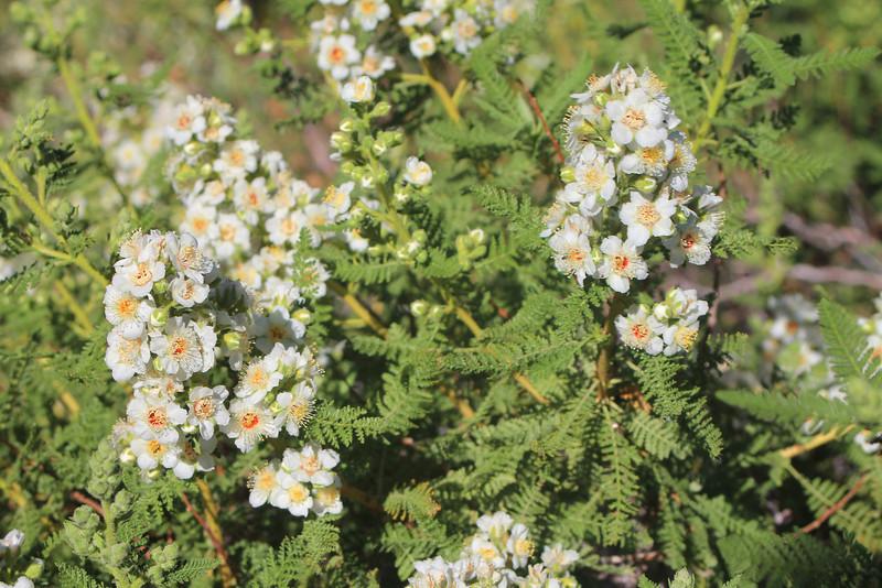 8/14/11 Mountain Misery (Chamaebatiara millefolium). Bishop Creek Rd., east of South Lake. Inyo National Forest, Inyo County, CA