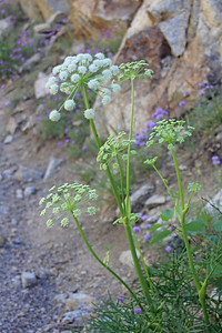 8/14/11 Sierra Angelica/Soda Straw (Angelica lineariloba). South Lake, Inyo National Forest, Inyo County, CA
