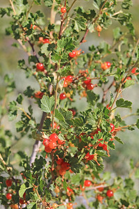 8/14/11 Wax Currant (Ribes cereum). Bishop Creek Rd., east of South Lake. Inyo National Forest, Inyo County, CA