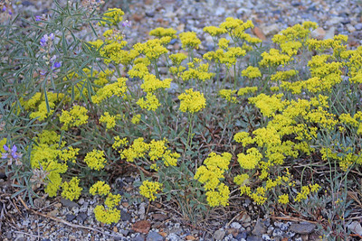 8/14/11 Sulfur Buckwheat (Eriogonum umbellatum). Bishop Creek Rd., east of South Lake. Inyo National Forest, Inyo County, CA