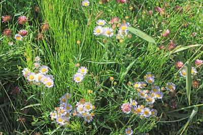 8/17/11 Wandering Daisy (Erigeron peregrinus). Dirt road from Lundy Lake Resort to Lundy Canyon Trail. Eastern Sierras, Inyo National Forest, Mono County, CA