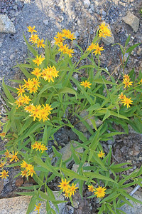 8/14/11 Arnica species? South Lake, Inyo National Forest, Inyo County, CA