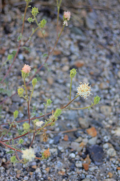 8/14/11 Dusty Maidens (Chaenactis douglasii var. douglasii). Bishop Creek Rd., east of South Lake. Inyo National Forest, Inyo County, CA