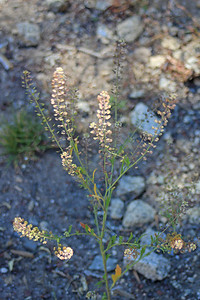 8/14/11 Bigseed Pepper-grass (Lepidium densiflorum)? South Lake, Inyo National Forest, Inyo County, CA