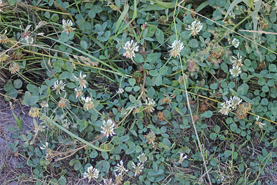 8/17/11 White Clover (Trifolium repens). Dirt road from Lundy Lake Resort to Lundy Canyon Trail. Eastern Sierras, Inyo National Forest, Mono County, CA