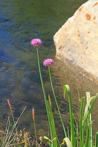 8/14/11 Swamp Onion (Allium validum). Pullout next to South Fork of Bishop Creek before Weir Lake (picnic area under native plant restoration). Inyo National Forest, Inyo County, CA