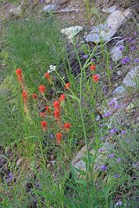 8/14/11 Great Red Paintbrush (Castilleja miniata), Ranger's Buttons (Sphenosciadium capitellatum),  Mountain Pennyroyal (Monardella glauca). South Lake, Inyo National Forest, Inyo County, CA