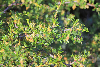 8/14/11 Antelope Bitterbrush (Purshia tridentata). Bishop Creek Rd., east of South Lake. Inyo National Forest, Inyo County, CA