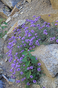 8/14/11 Mountain Pennyroyal (Monardella glauca). South Lake, Inyo National Forest, Inyo County, CA