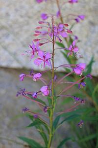 8/14/11 Fireweed (Epilobium angustifolium). South Lake, Inyo National Forest, Inyo County, CA