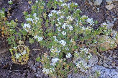 8/14/11 Nuttall's Linanthus (Leptodactylon nuttallii). South Lake, Inyo National Forest, Inyo County, CA