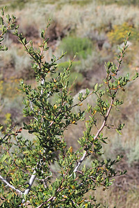 8/14/11 Curl-leaf Mountain Mahogany (Cercocarpus ledifolius). Bishop Creek Rd., east of South Lake. Inyo National Forest, Inyo County, CA
