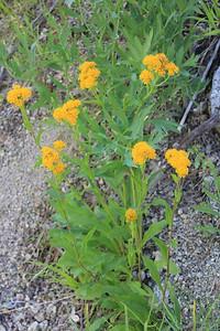 8/14/11 Alpine Goldenrod (Solidago multiradiata). South Lake, Inyo National Forest, Inyo County, CA