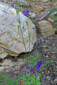 8/14/11 Glaucous Larkspur (Delphinium glaucum). Across road from Weir Lake just before South Lake. Inyo National Forest, Inyo County, CA