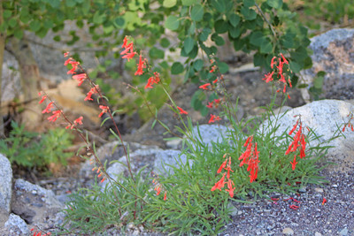 8/14/11 Scarlet Penstemon (Penstemon rostriflorus). South Lake, Inyo National Forest, Inyo County, CA