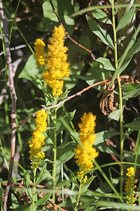 8/17/11 California Goldenrod (Solidago californica)? Dirt road from Lundy Lake Resort to Lundy Canyon Trail. Eastern Sierras, Inyo National Forest, Mono County, CA