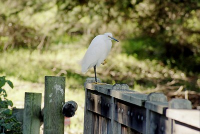 1/16/05 Snowy Egret (Egretta thula). Creekside