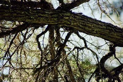 1/16/05 Hutton's Vireo(?) (Vireo huttoni) or Ruby Crowned Kinglet (Regulus calendula) in pines/eucalyptus grove
