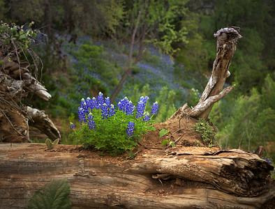 Bluebonnets on a Log