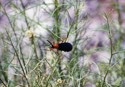 4/27/01 Blister Beetle (Lytta magister). Trilobite Wilderness (BLM), Eastern Mojave, Riverside County, CA