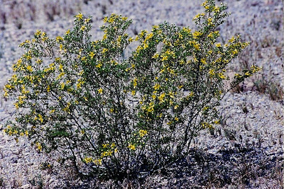 4/27/01 Creosote Bush (Larrea tridentata). Trilobite Wilderness (BLM), East Mojave, San Bernardino County, CA