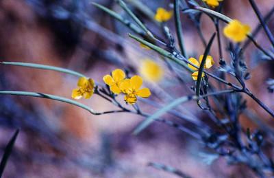 4/27/01 Little Gold Poppy (Eschscholzia minutiflora). Trilobite Wilderness (BLM), East Mojave, San Bernardino County, CA