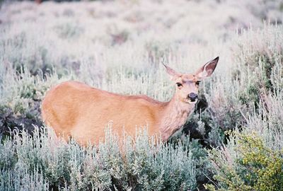7/5/05 Mule Deer grazing off Twin Lakes Rd across from RV park. 7:30pm. Eastern Sierras, Toiyabe National Forest, Mono County, CA