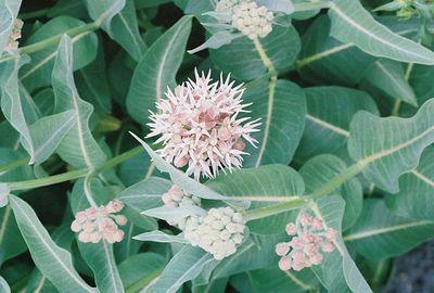 7/5/05 Showy Milkweed (Ascelpias speciosa). Twin Lakes Rd, Lower Twin Lakes. Toiyabe National Forest, Eastern Sierras, Mono County, CA
