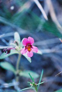 7/5/05 Dwarf Monkeyflower (Mimulus nanus). Near Lower Twin Lakes Campground. Toiyabe National Forest, E. Sierra, Mono County, CA