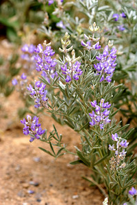 7/6/07 Lupine (need to ID). Roadside, Upper Twin Lakes, Toiyabe National Forest, Bridgeport Region, Mono County, CA
