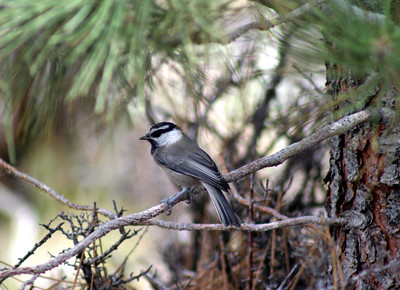 7/6/07 Mountain Chickadee (Poecile gambeli). Road into Twin Lakes Campground, Toiyabe National Forest, Bridgeport Region, Mono County, CA
