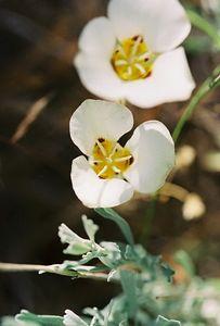 7/5/05 Leichtlin's Mariposa Lily (Calochortus leichtlinii). Near Lower Twin Lakes Campground. Toiyabe National Forest, Eastern Sierras, Mono County, CA