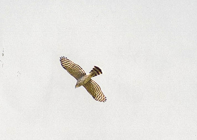 7/13/02 Cooper's Hawk (Accipiter cooperii). Upper Newport Bay Ecological Reserve. Newport Beach, Orange County, CA