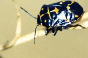 7/13/02 Harlequin Stink Bug (Murgantia histrionica). Upper Newport Bay Ecological Reserve, Orange County, CA