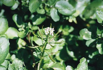 8/3/03 Watercress (Rorippa sp). Upper Newport Back Bay Ecological Reserve, Orange County, CA