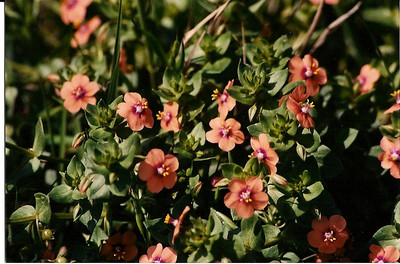4/13/02 Scarlet Pimpernel (Anagallis arvensis). Non-native. Upper Newport Bay Ecological Reserve, Newport Beach, Orange County, CA