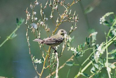 8/3/03 Female Lesser Goldfinch (Carduelis psaltria). Upper Newport Back Bay Ecological Reserve, Orange County, CA